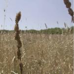 """""""La via del grano"""" di Angelo Gasparini"""